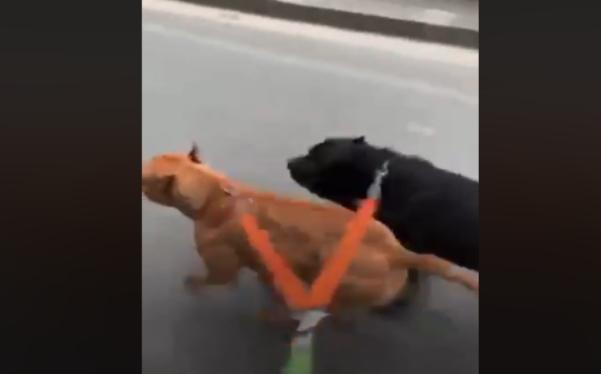 napoli cani costretti a correre scooter foto free borrelli