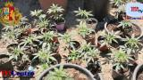 La marijuana pianta MUST degli amanti del Verde...