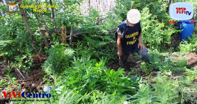 GdF Napoli: nel comune di Lettere due piantagioni di marijuana