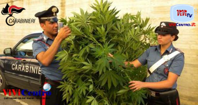 carabinieri maxi sequestrano piantine marijuana, cannabis