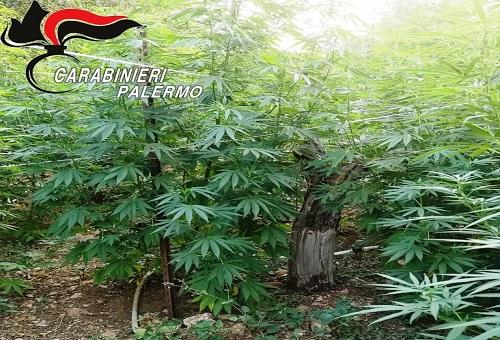 In due diverse località scoperte piantagioni di marijuana