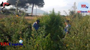 boscoreale 35enne arrestato piantagione cannabis