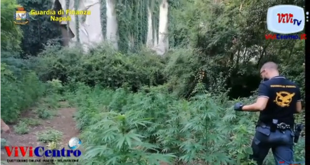 Passione Giardinaggio (?): sequestrate 257 piantagioni di marijuana