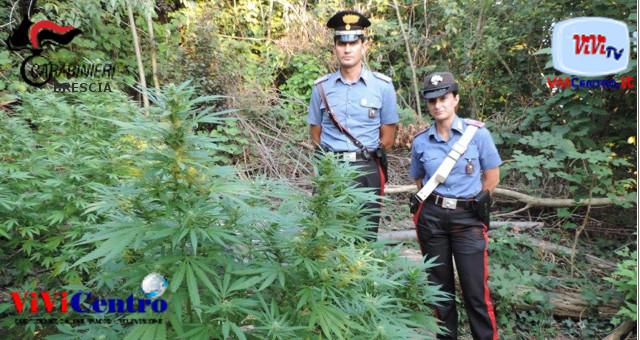 Piccola piantagione di marijuana su Monte Orfano (BS)