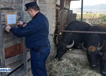Capua (CE), Forestale sequestra complesso aziendale bufalino
