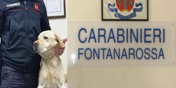 arrestato uno spacciatore grazie al Labrador Ivan che gli ha fiutato la cocaina nascosta nelle mutande