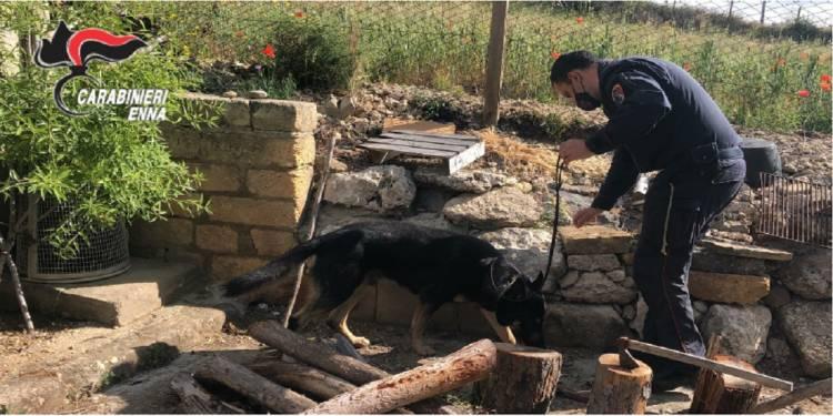 Arrestato per spaccio dai CC di Piazza Armerina grazie ai due cani pastori