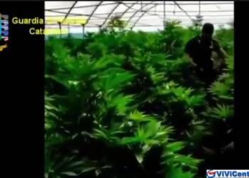 Catanzaro, Scoperta maxi piantagione di marijuanaCatanzaro, Scoperta maxi piantagione di marijuana